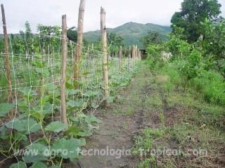 el tutoraje modifica las condiciones microclimaticas en el follaje de la planta