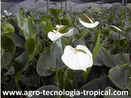 la sombra es necesaria para reducir la radicacion en algunos cultivos