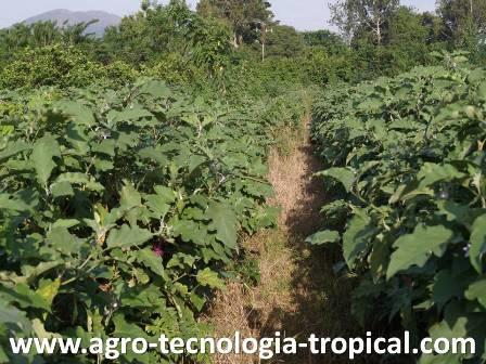 La densidad de siembra de los cultivos for Densidad de siembra de tilapia