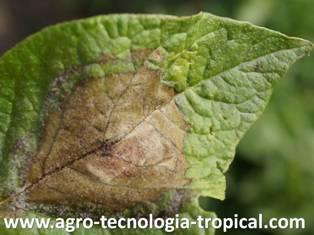 Phythophthora en hoja de papa por alta humedad en el clima