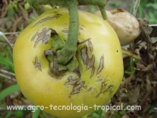 Efecto de las lluvias sobre los frutos de tomate