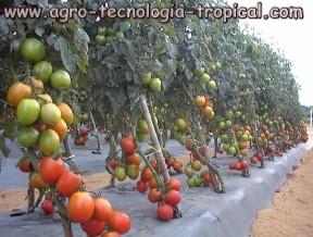 Alta productividad de tomates en invernadero
