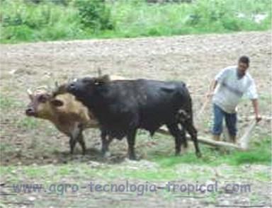 El cultivo del repollo rechicken en zonas tropicales - Preparacion de la tierra para sembrar ...
