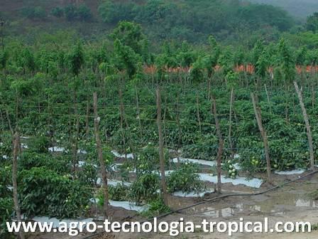 El acolchado es una alternativa ante la escasez de herbicidas