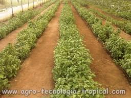 Cultivo de albahaca en invernaderos tropicales for Cultivo de albahaca en interior