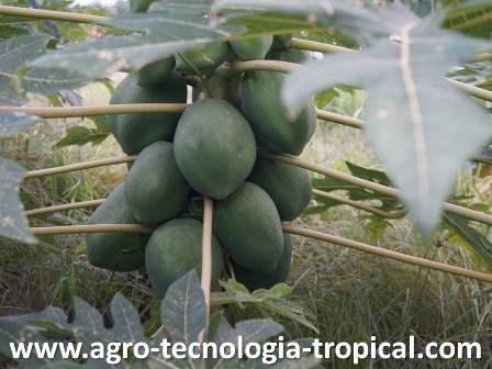 El sexo en lechosas implicaciones forma de frutos y producci n for Plantas sin semillas