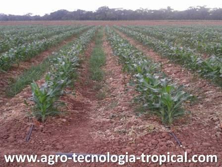 El cultivo del ma z para jojoto for Sembrar maiz y frijol juntos