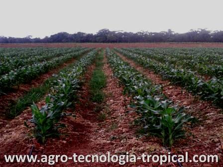 La densidad de siembra de los cultivos for Que son cultivos asociados