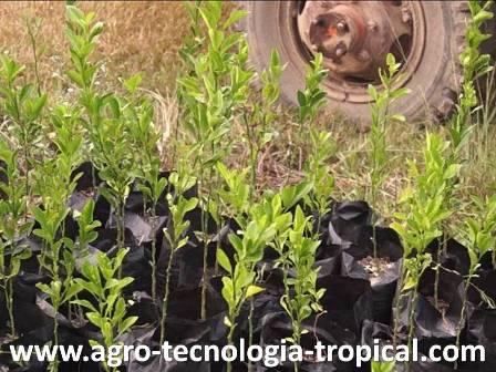 Generalidades sobre los injertos en frutales for Vivero plantas tropicales